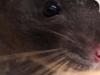 Cody the Rat